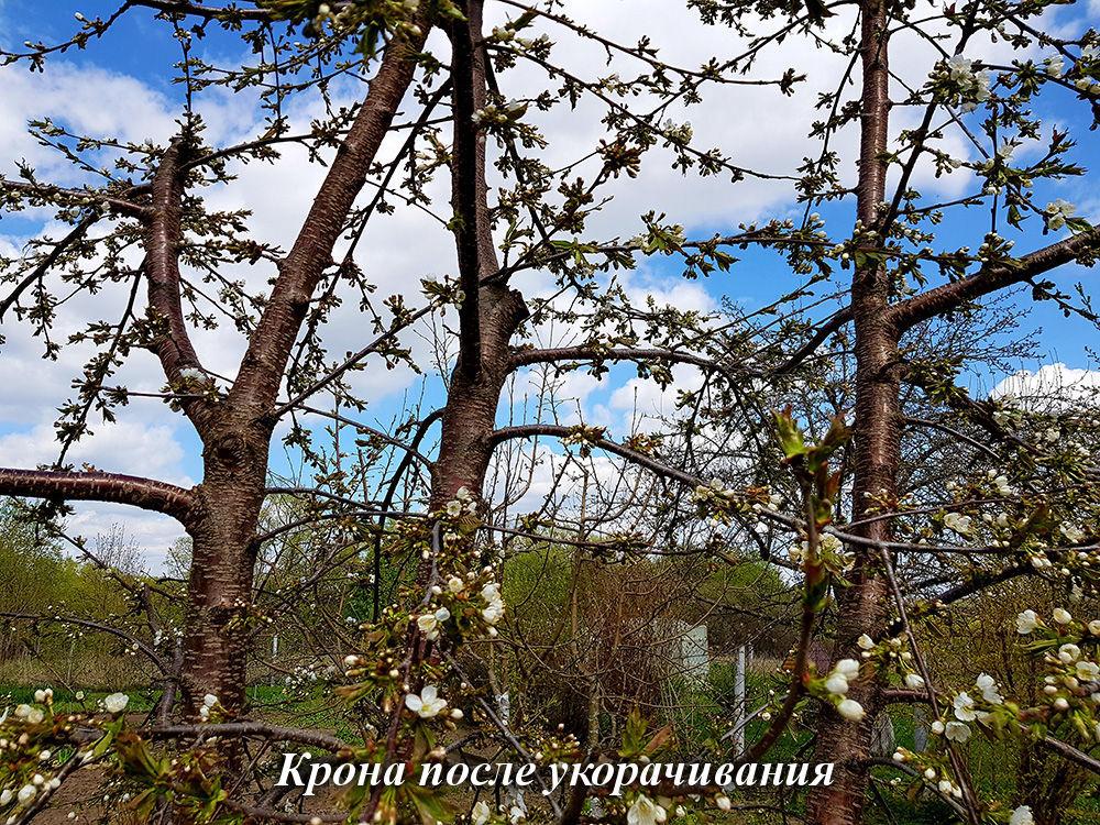 krona_posle_ukorachivaniya