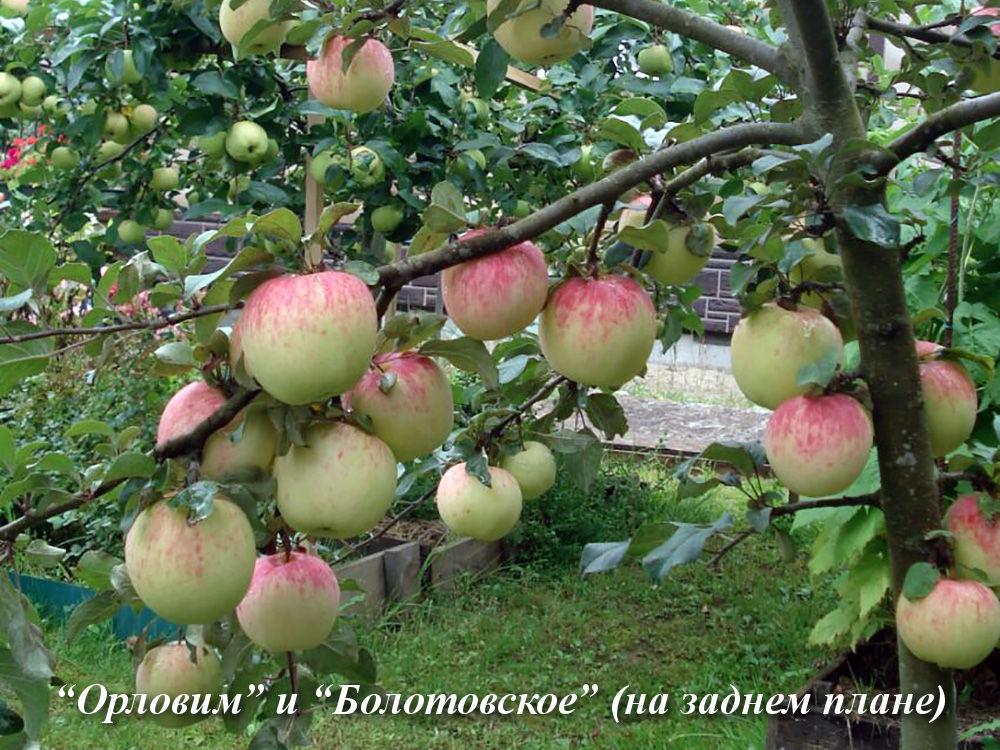 Орловим_и_Болотовское
